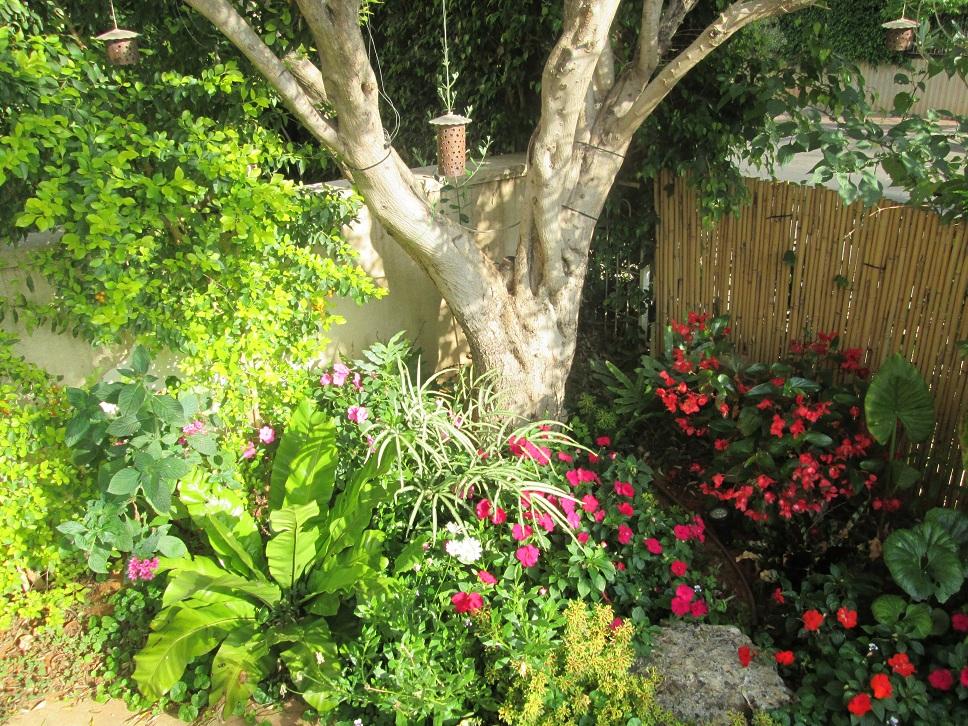 עץ זית  עם צמחיה ותאורה