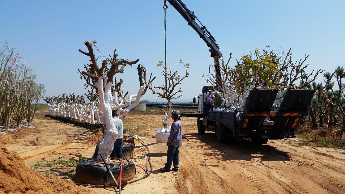 מוצרים לגינה עצי ליצ'י