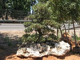 אלון בונסאי בסלע