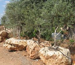 זיתים צעירים שתולים בסלע