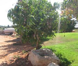 עץ מנגו בחניאל