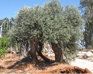 בנפט למכירה לגינה עצי זית בוגרים ועתיקים במחירים טובים. | ערבות - עיצוב CF-78