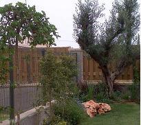 זית בוגר בגינה בכפר יונה