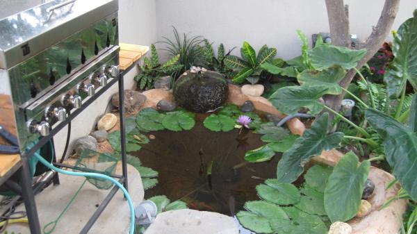 שושנת מים בברכה אפרפרה בתל אביב