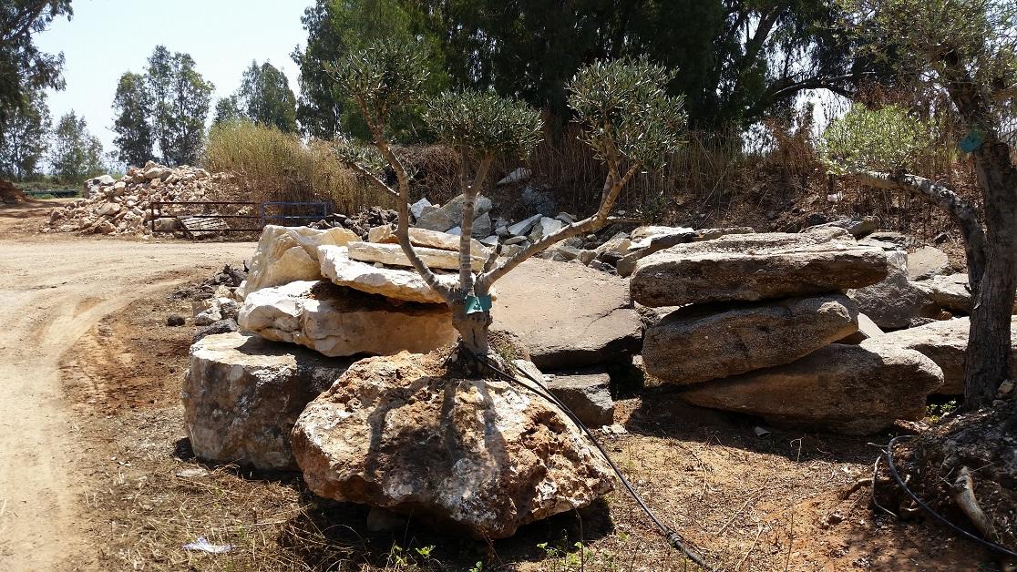 עץ זית שתול בסלע עם חור טבעי