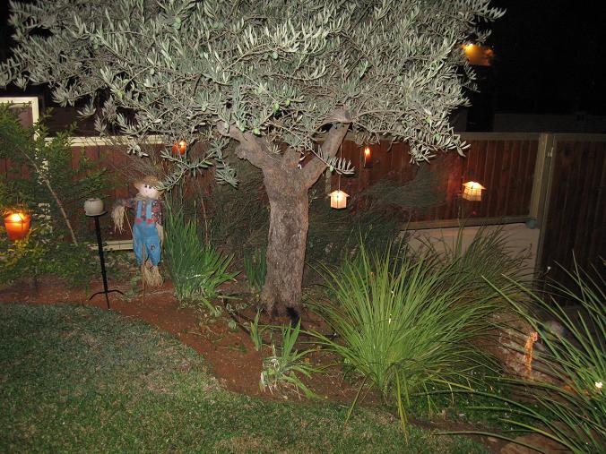 עץ זית עתיק  שהובא על ידי מנוף