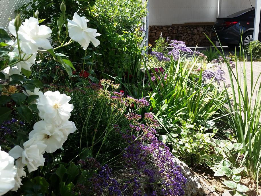 ורד מטפס אייסברג לבן