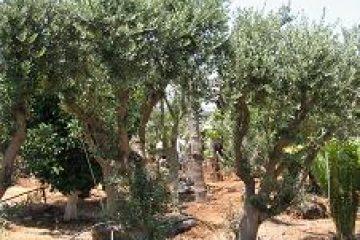 עצי זית בוגרים